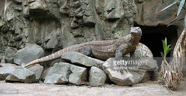 'Flora' a female Komodo Dragon is pictured at Chester Zoo in northwest England 20 December 2006 Flora laid 11 eggs in May this year three of which...
