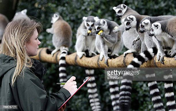 Chester Zoo woker Zoe Inskip counts Ring tailed Lemurs during the annual stock take of animals at the zoo in Chester northwest England 08 January...