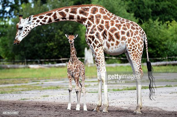 Chester Zoo's newest baby giraffe Kidepo steps out for the first time with his mother Orla as the zoo show off the three calfs born at the zoo within...