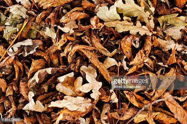 chestnut amidst autumn foliage - alfred chestnut stock photos and pictures