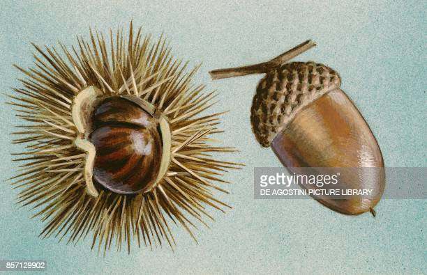 Chestnut and acorn fruit drawing