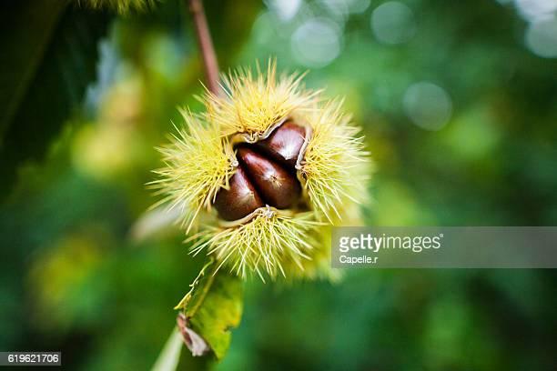 chestnut at autumn - châtaigne photos et images de collection