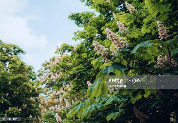 chestnut blossoms on a chestnut tree in may - châtaigne photos et images de collection