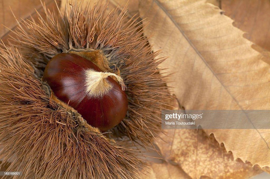 Chestnut close up : Stock Photo