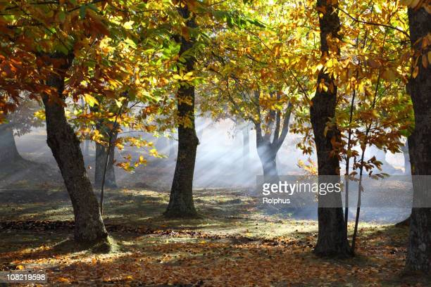 chestnut forest fall time - picture of a buckeye tree stock photos and pictures