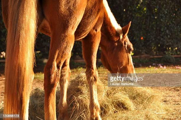 chestnut horse grazing on hay - lauren hays photos et images de collection