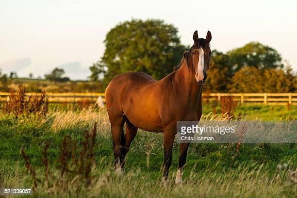 chestnut horse - モーペス ストックフォトと画像
