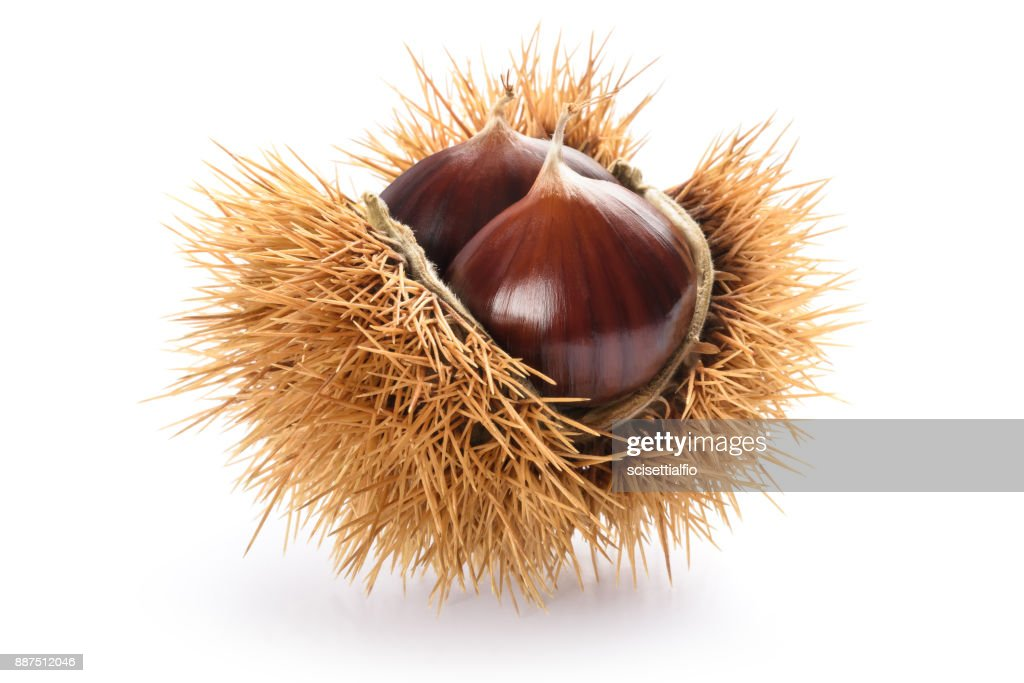 Chestnut in husk : Stock Photo