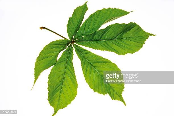 Chestnut leaf (Aesculus hippocastanum), close-up