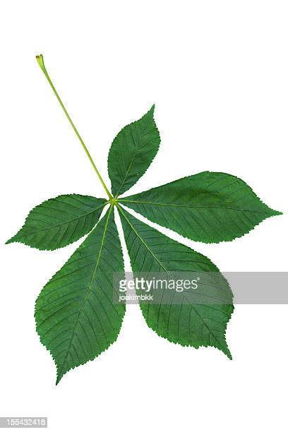 chestnut leaf isolated on white with clipping path - picture of a buckeye tree stock photos and pictures