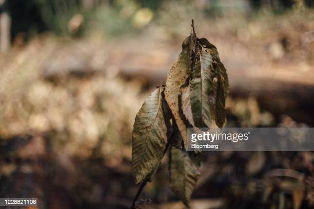 Chestnut leaves infected with ink disease hang from a twig in Montmorency forest in Montmorency, France, on Thursday, Sept. 17, 2020. In the...