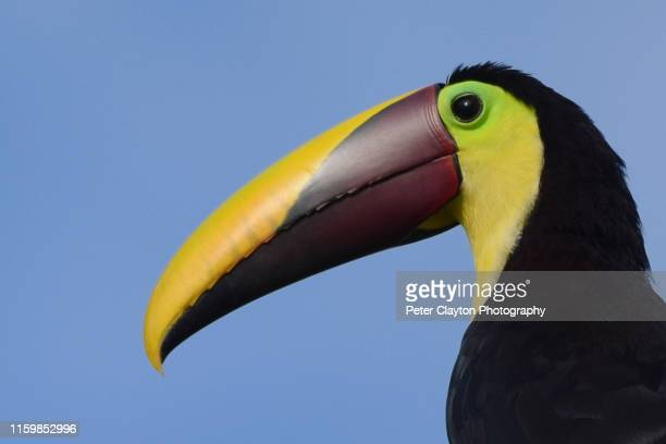 chestnut mandibled toucan - black mandibled toucan stock photos and pictures