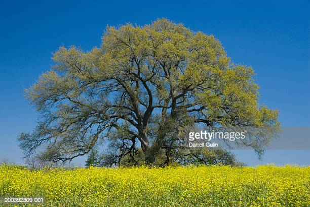 Chestnut oak tree (Quercus muehlenbergii) in a field of Wild Mustard
