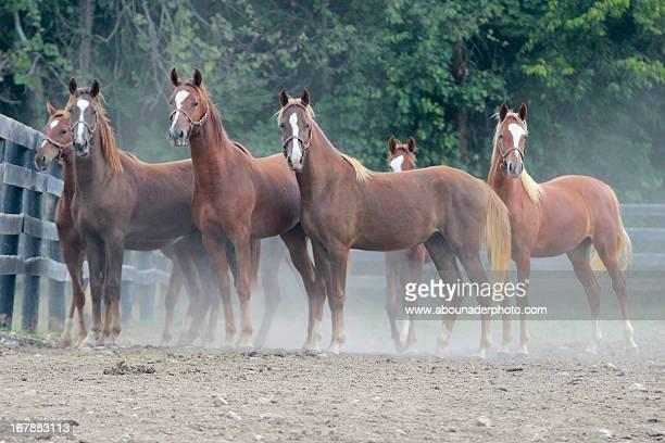 chestnut saddlebred yearlings
