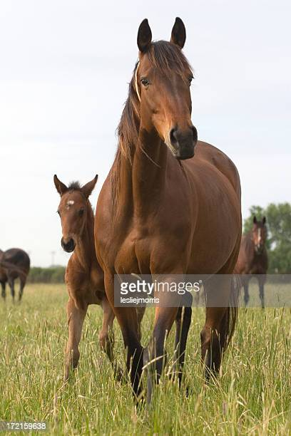 chestnut thoroughbred mare and foal - colts stock photos and pictures