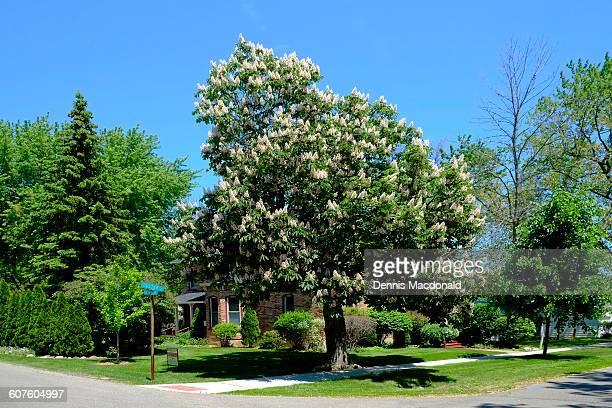Chestnut tree in full flower bloom in springtime