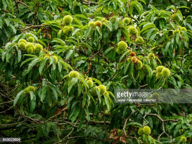 A chestnut tree (Castanea sativa) with its branches full of thorny fruits that cover the seed, the edible fruit.