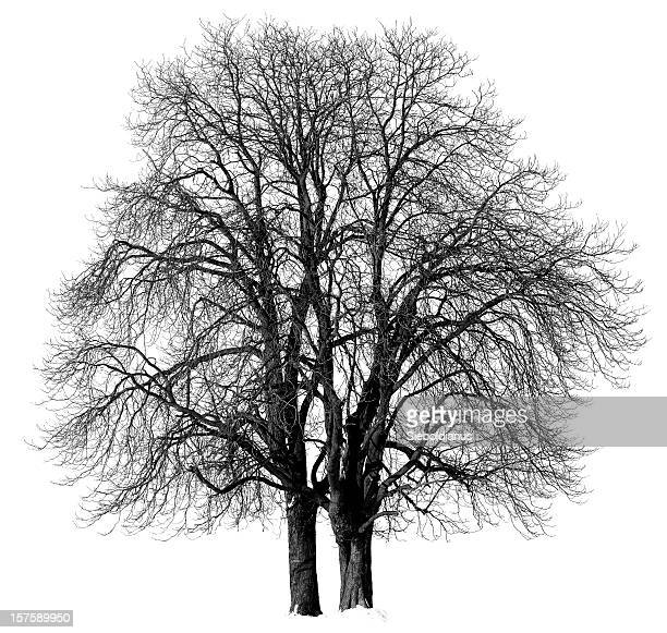chestnut trees (aesculus hippocastanum) in winter isolated/black and white . - picture of a buckeye tree stock photos and pictures
