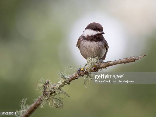 Chestnut-backed chickadee, Poecile rufescens, Forest Knolls, California, USA