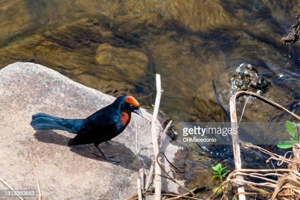 chestnut-capped blackbird - crmacedonio photos et images de collection