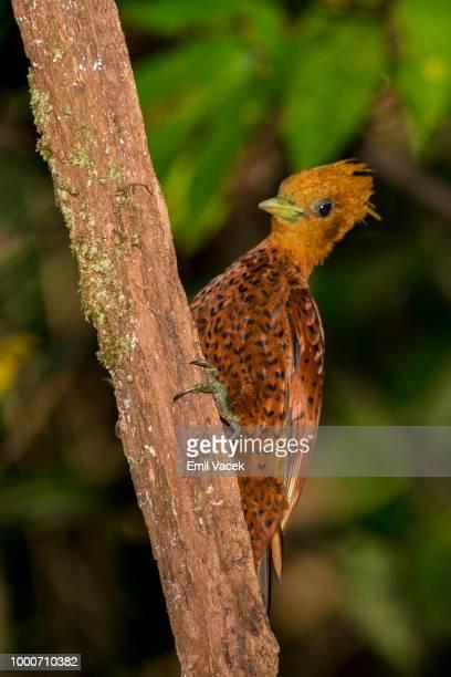 Chestnut-Colorer Woodpecker -female