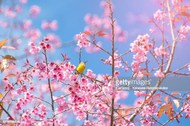 Chestnut-flanked White-eye bird in the beautiful cherry blossom tree