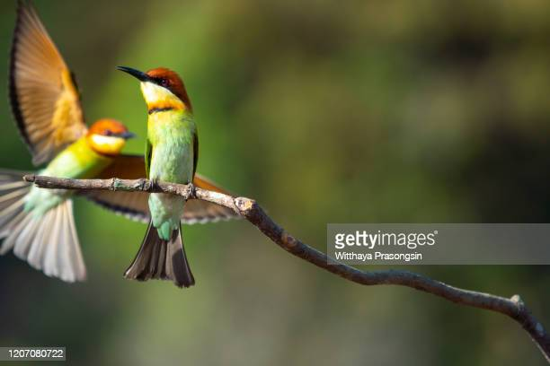 chestnut-headed bee-eater in bardia national park, nepal - terai stock pictures, royalty-free photos & images