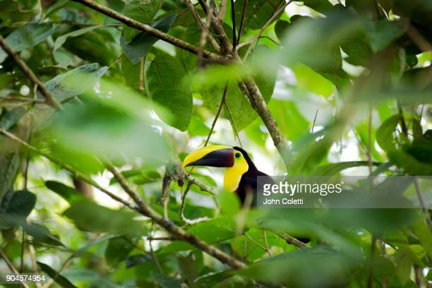 chestnut-mandibled toucan, costa rica - yellow perch stock photos and pictures