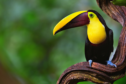 chestnut-mandibled toucan in costa rica 838450528