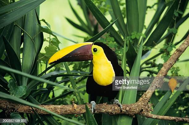Chestnut-mandibled toucan (Ramphastos swainsonii), on branch
