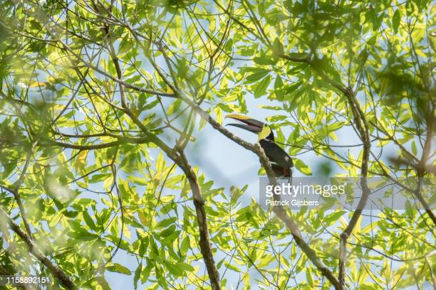chestnut-mandibled toucan - black mandibled toucan stock photos and pictures
