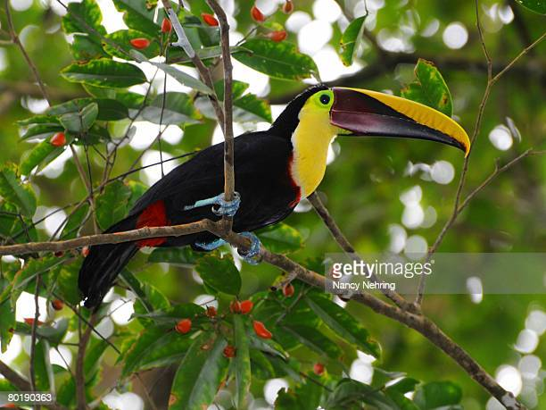 Chestnut-mandibled toucan, Ramphastos swainsonii, feasting on red fruits of a legume tree, Uribea sp. Playa Caletas, Osa Peninsula, Costa Rica.