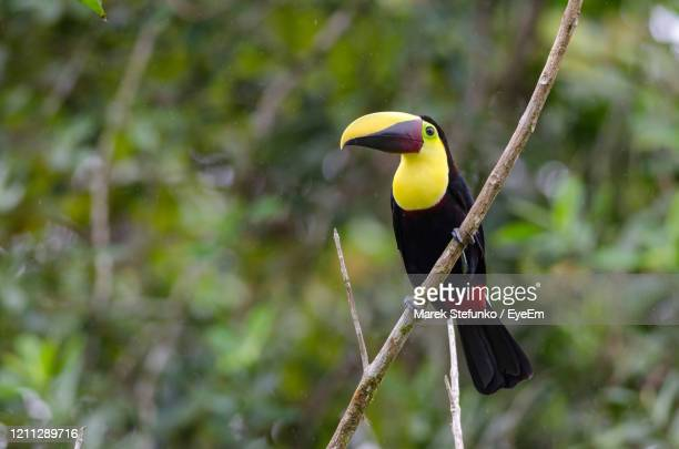 chestnut-mandibled - toucan ramphastos swainsonii in la selva biological station - marek stefunko stock pictures, royalty-free photos & images