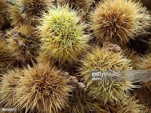 Chestnuts inside its protective prickly capsule