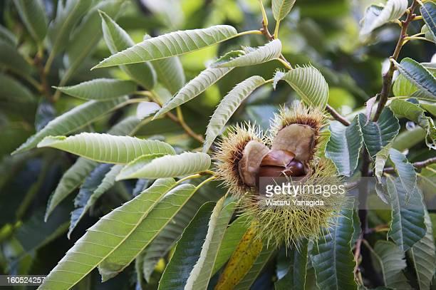Chestnuts on branch