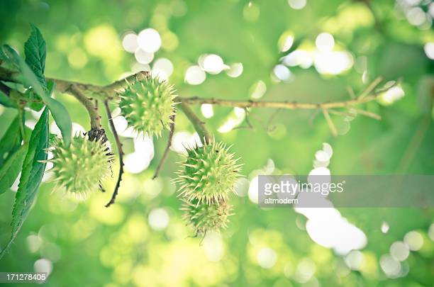 chestnuts - picture of a buckeye tree stock photos and pictures