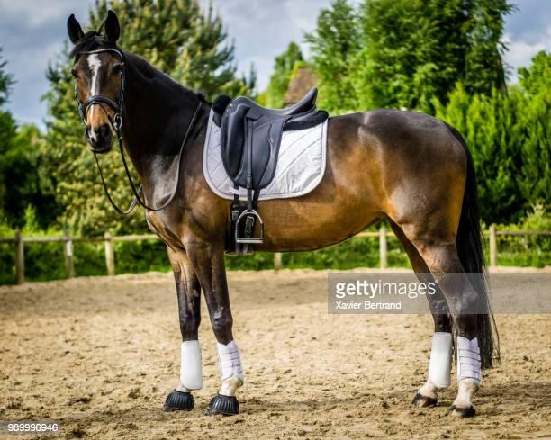 cheval - 馬場馬術 ストックフォトと画像