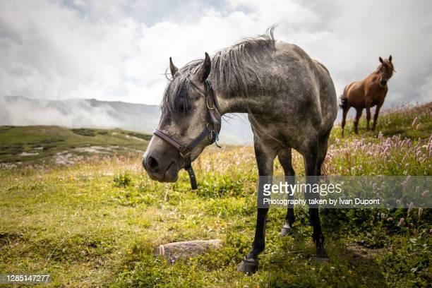 chevaux au grand air - valle d'aosta foto e immagini stock