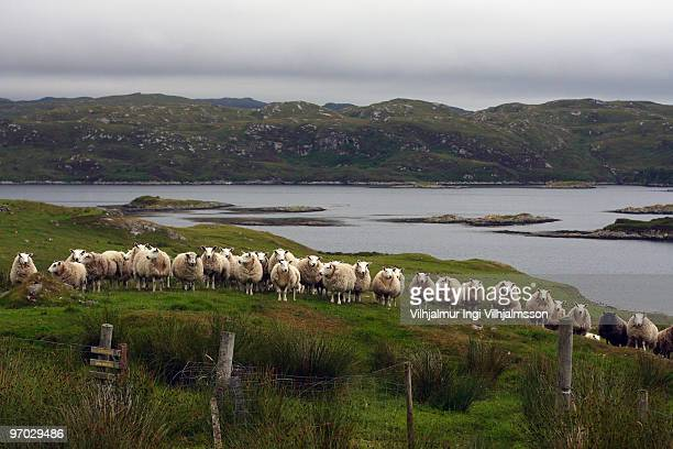 Cheviot sheep standing in line