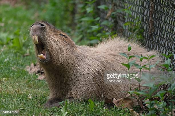 Chewy the capybara enjoys some solitude in his enclosure in the High Park Zoo Chewy is the male rodent which did not escapee last month Meanwhile the...