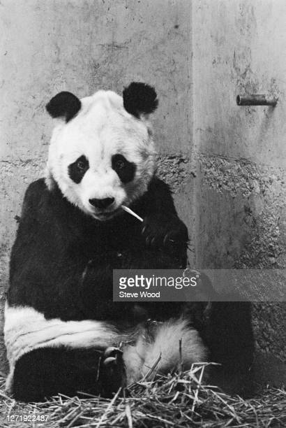 Chi Chi the giant panda at London Zoo, UK, 16th July 1972. She died a few days later.