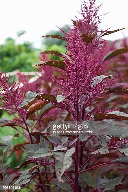 Chia Seed Plant