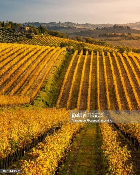 chianti vineyards in autumn - iacomino italy foto e immagini stock