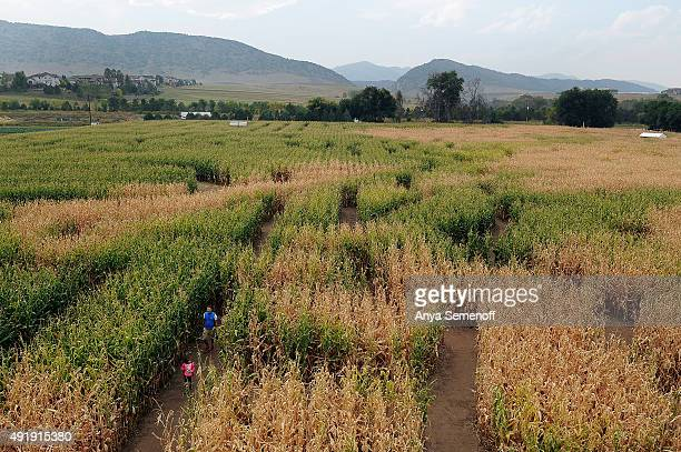 Chiara Dinges leads her father Bjorn Dinges through the corn maze at Denver Botanic Gardens Chatfield Farms on October 2 in Littleton Colorado The...