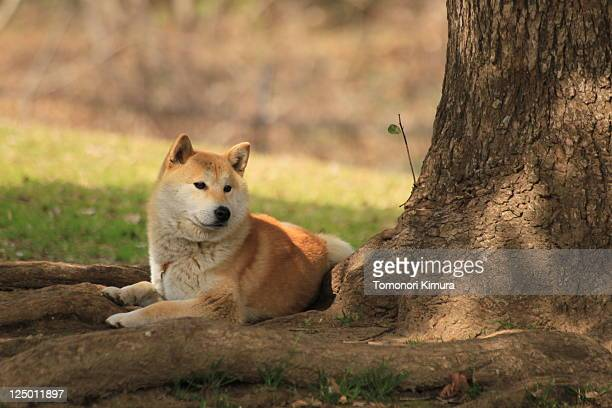 chiba dog - chiba city stock pictures, royalty-free photos & images