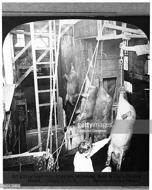 Chicago Meat Packing Industry Swift Co's Packing House51784 killing hogs shackling pen and wheel c1906 H74825 by by HC White Co 3 stere