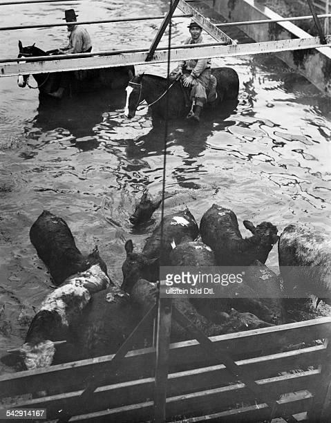 Chicago, Schlachthof - Rinder werden ins Wasser getriebenAufnahme: um 1934Fotograf: Martin Munkacsy