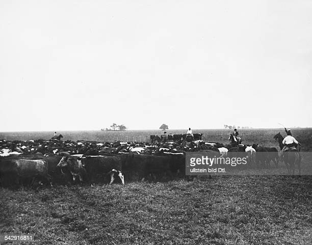 Chicago, Schlachthof - Vieh wird getriebenAufnahme: um 1934Foto: Martin Munkacsy