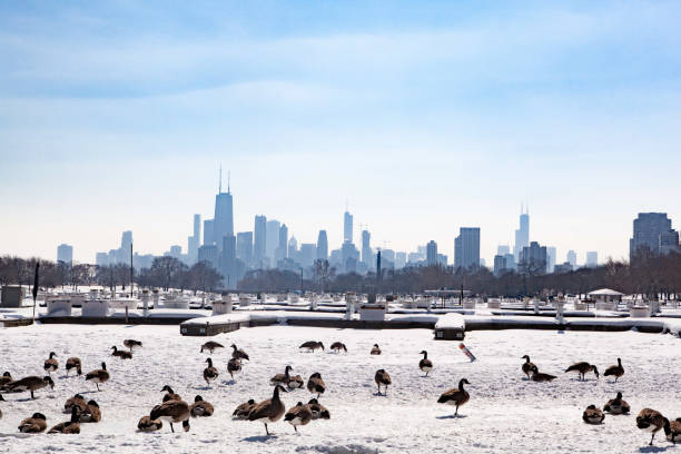 Chicago Skyline overlooking Geese on  Frozen Diversey Harbor