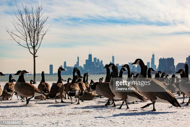 chicago skyline view with geese from montrose harbor - gruppo di animali foto e immagini stock